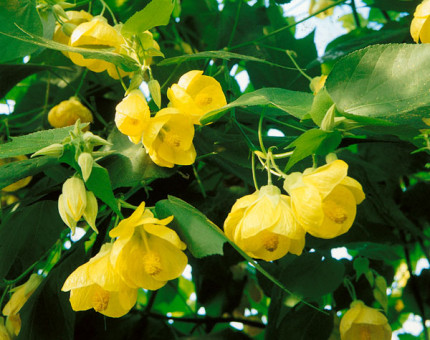 Abutilon canary bird